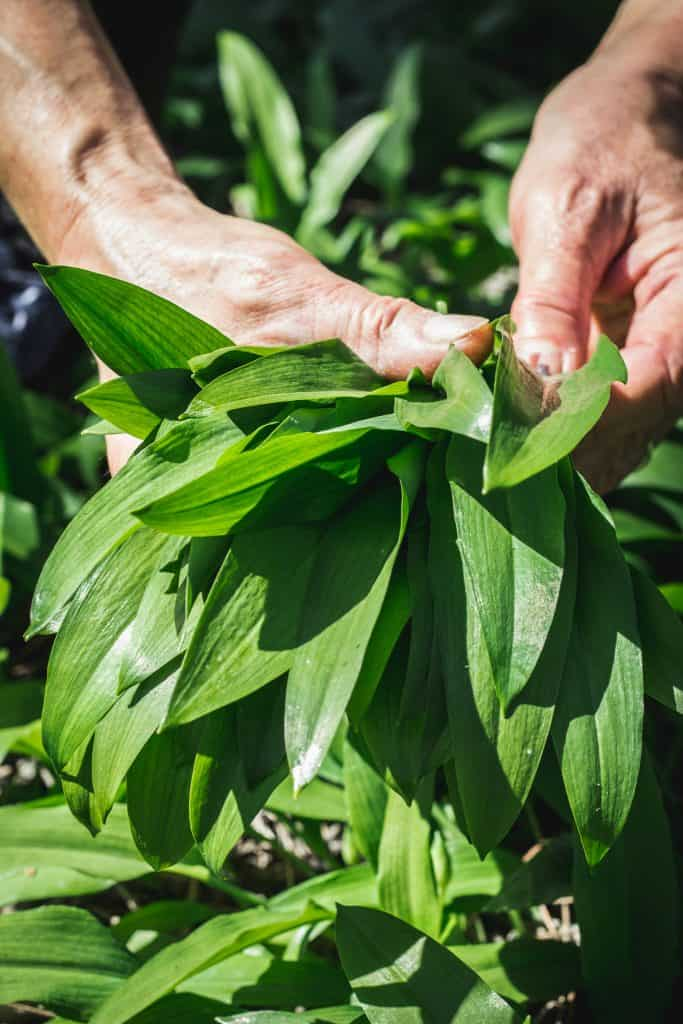 What does Wild Garlic Look Like
